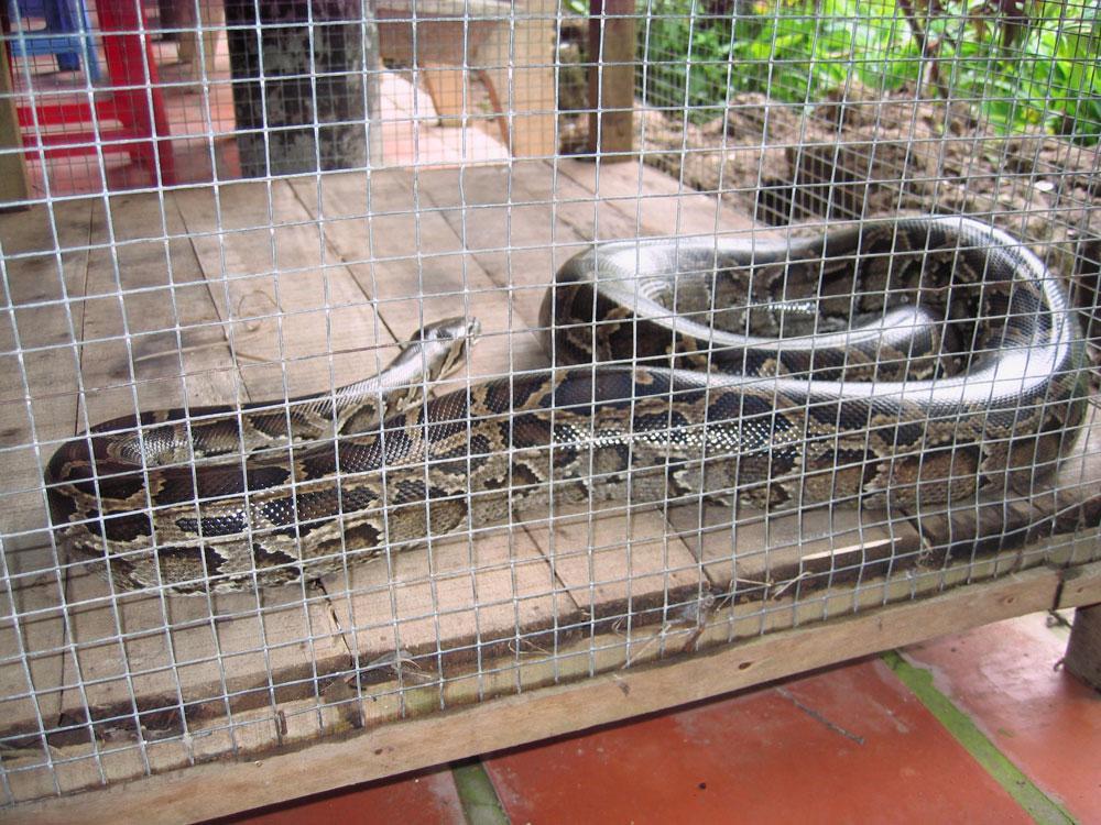 Serpent en cage