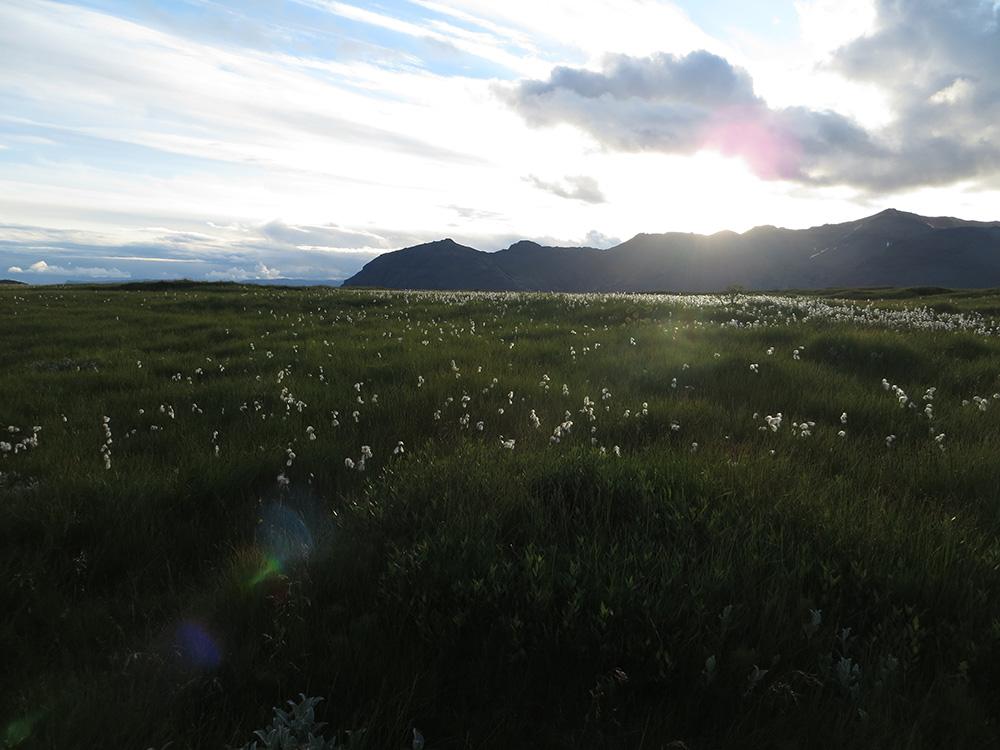 Fleurs d'Islande