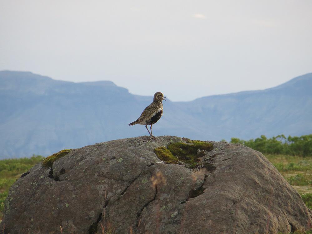 Iceland bird