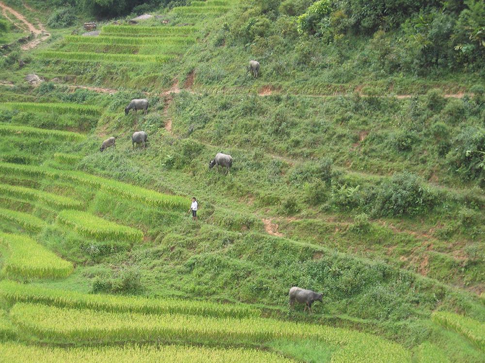 Buffles dans les rizières