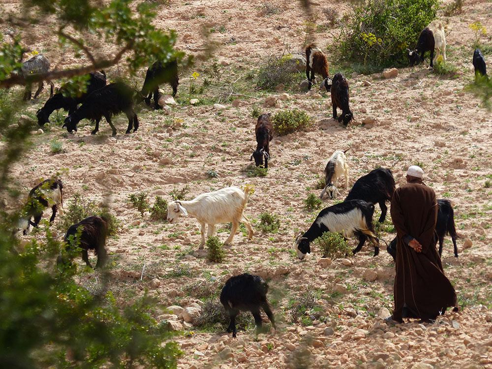 Berger au Maroc