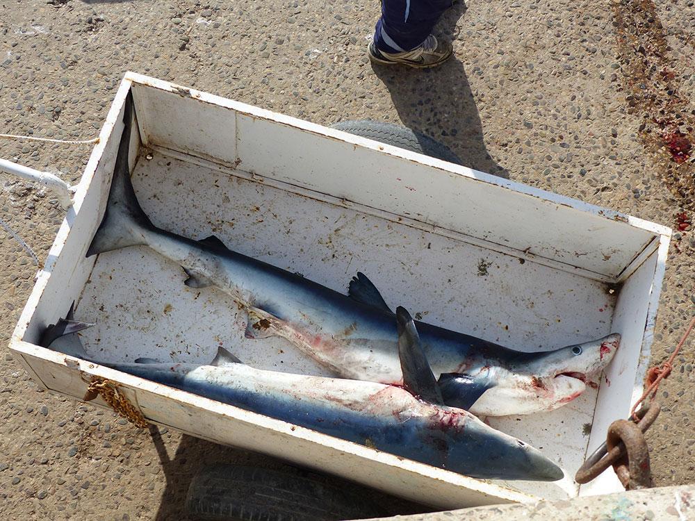 Requins au Maroc