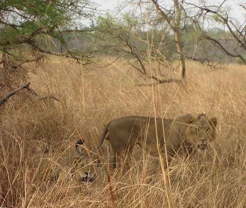 Couple de lions au Bénin