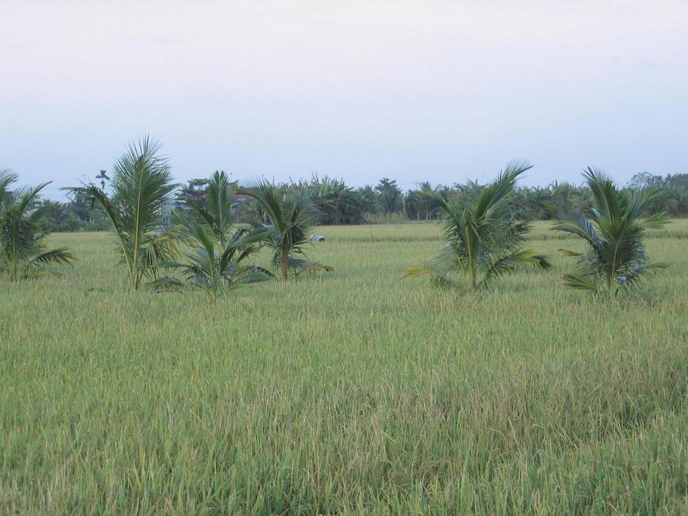 Rizière dans le delta du Mékong
