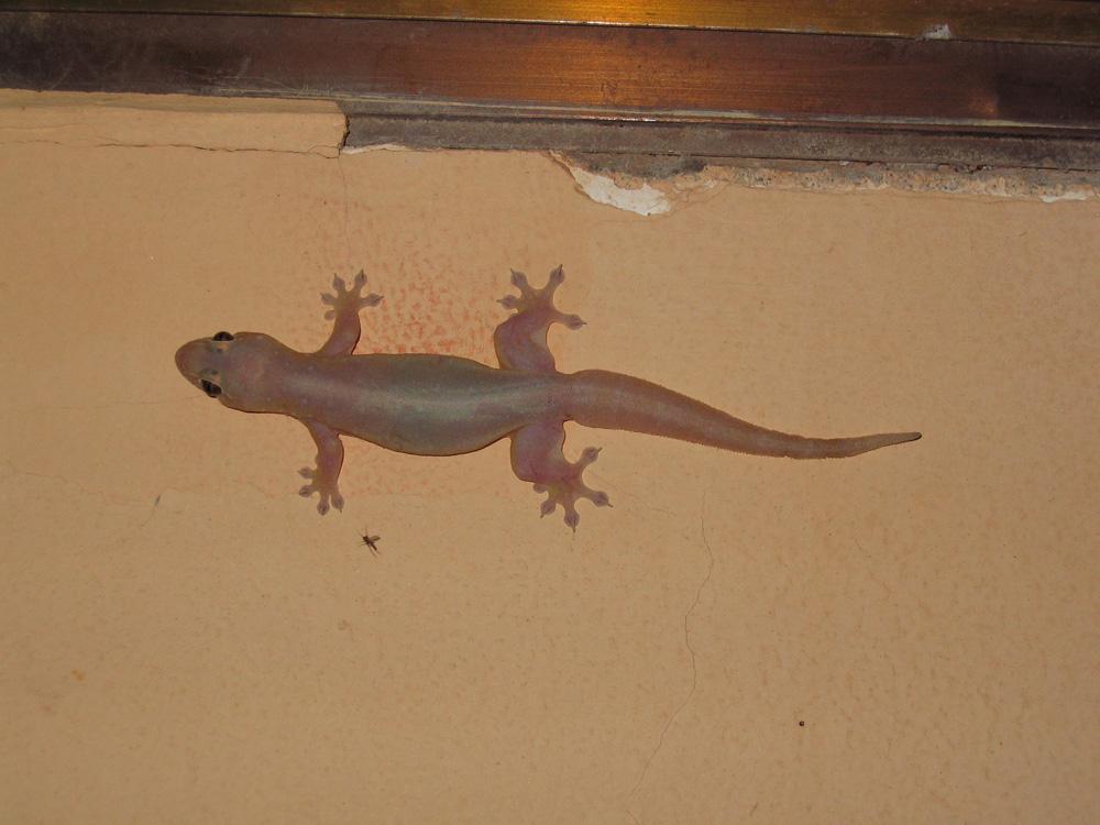 Gecko sur un mur