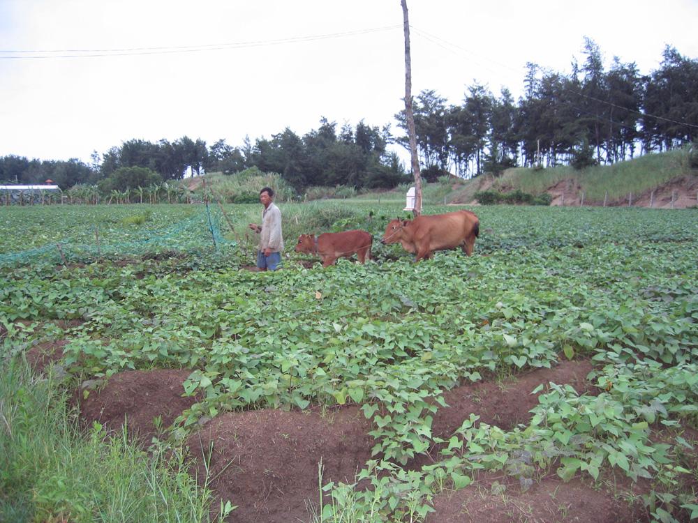 Paysan et bœufs dans un champ