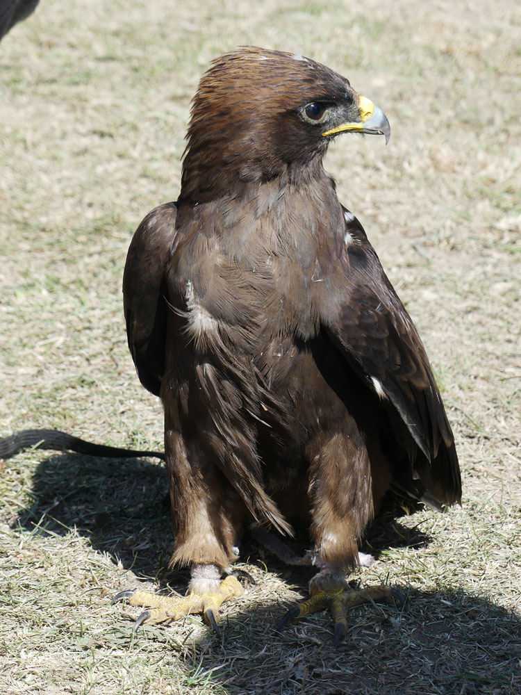Jeune aigle au Kirghizistan
